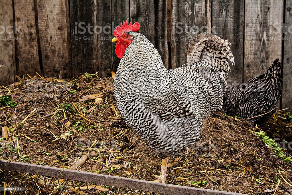 Plymouth Rock rooster stock photo