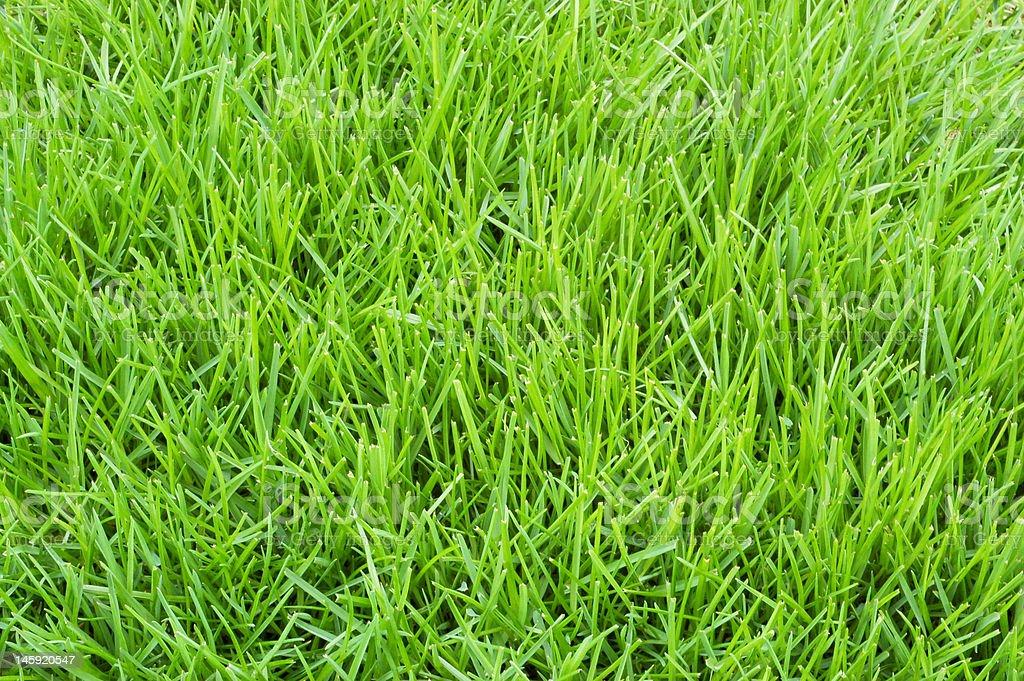Poa annua grass stock photo