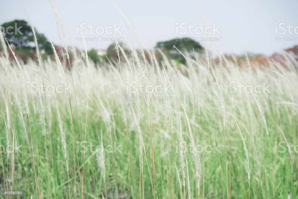 Poaceae plants, on the fields of white. stock photo