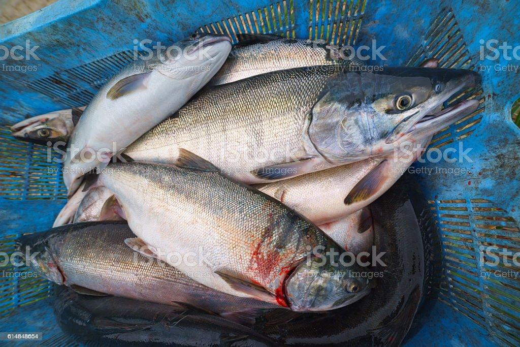 Poaching coho salmon, Sakhalin Island, Russia. stock photo