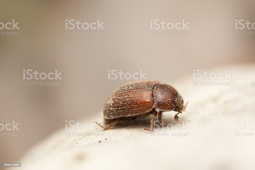 Pocadius ferrugineus on tinder conk mushroom, Fomes fomentarius stock photo