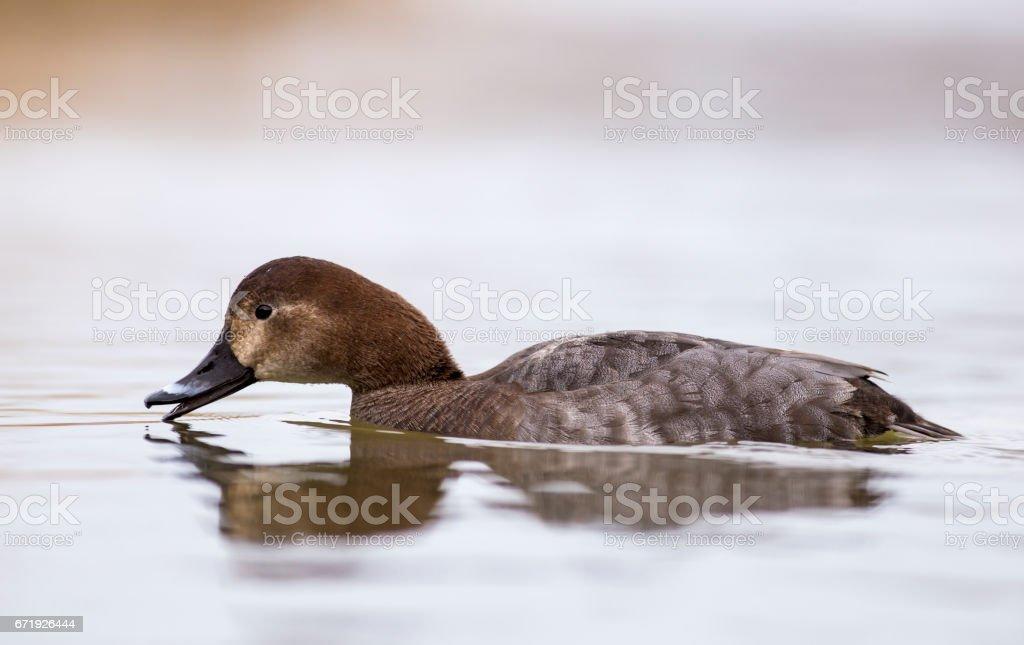 Pochard in the pond stock photo