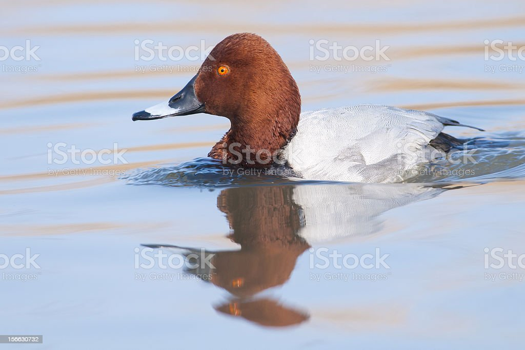 Pochard ((Aythya ferina) royalty-free stock photo