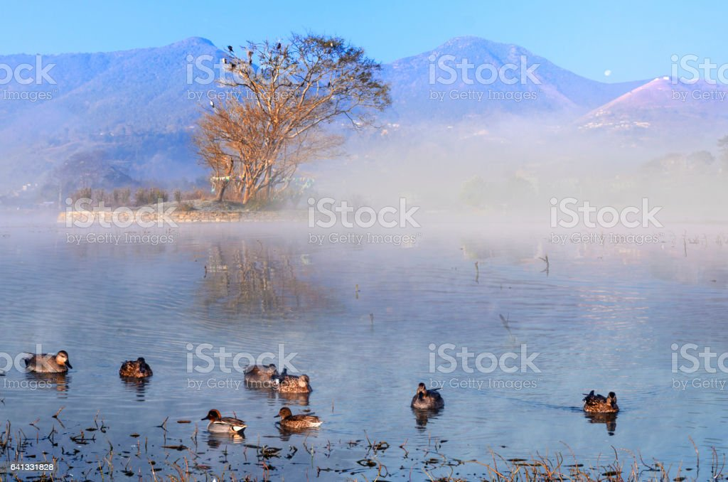 Pochards birds stock photo