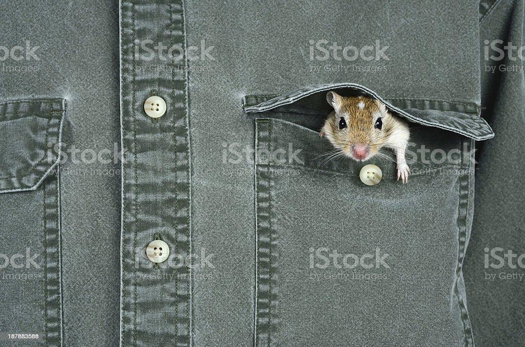 Pocket Pet stock photo