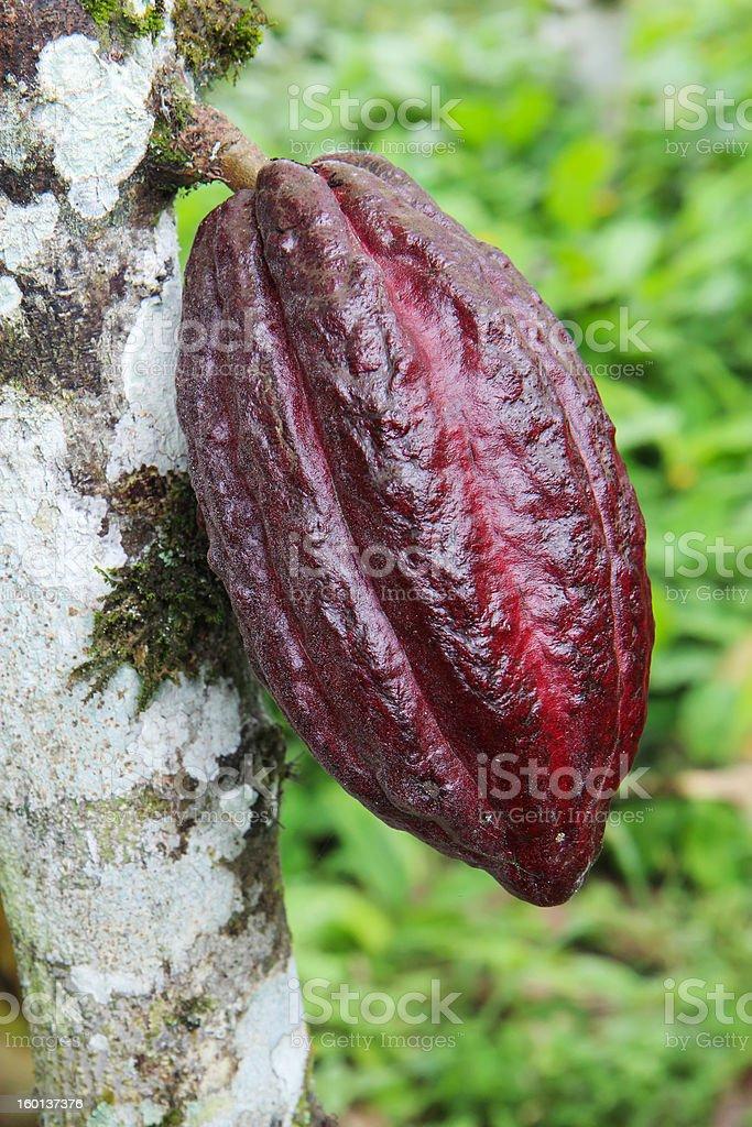 Pod of Arriba cacao in Ecuador royalty-free stock photo