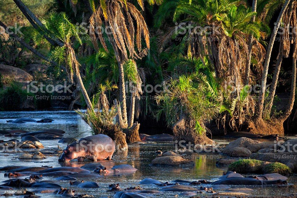 Pod of Hippos: Serengeti, Tanzania stock photo