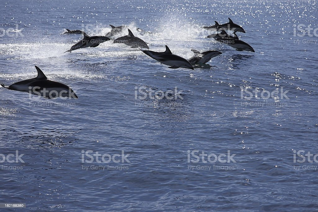 Pod of jumping dolphins stock photo