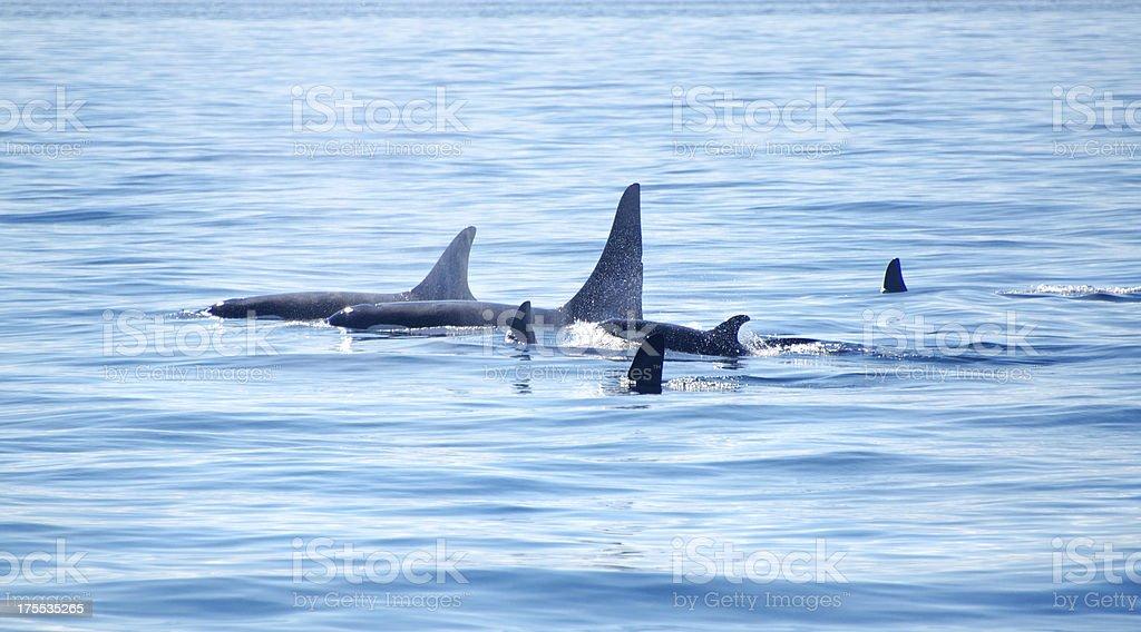 Pod of Killer Orca Whale, Victoria stock photo