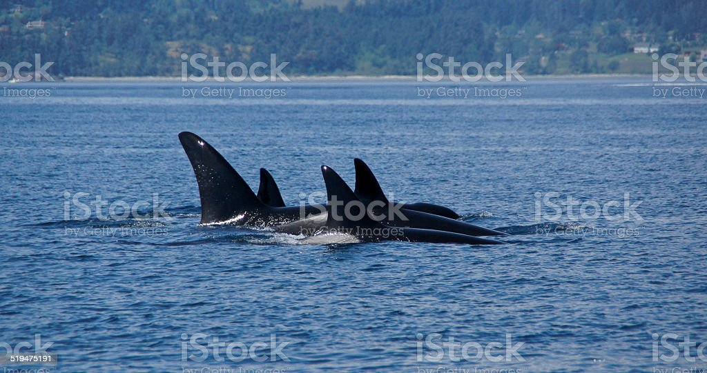 Pod Of Transient Orcas stock photo