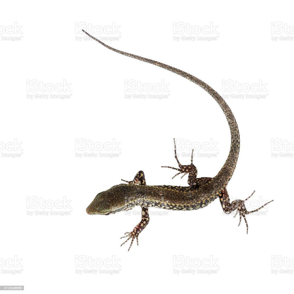 Podarcis muralis - common wall lizard isolated on white stock photo