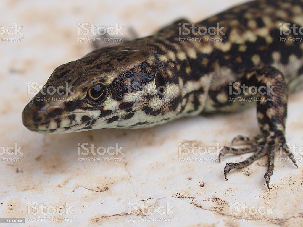 Podarcis muralis, the common wall lizard stock photo