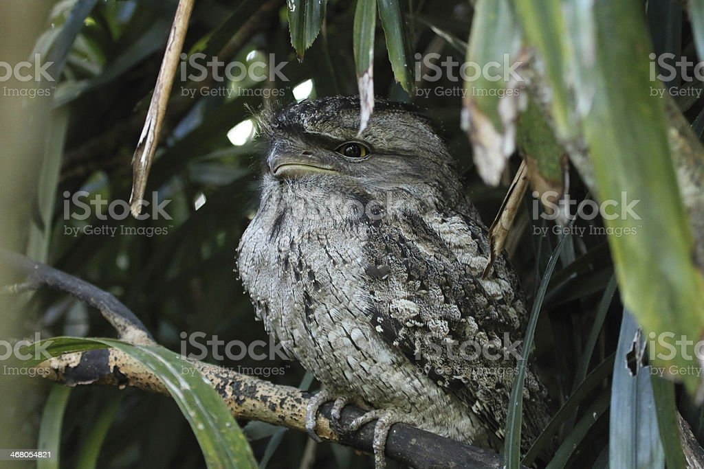Podargus strigoides stock photo