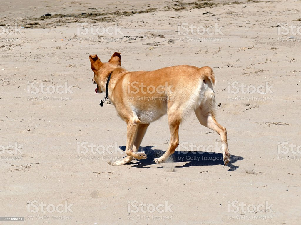 Podenco crossbreed  with collar and short tail running on beach stock photo