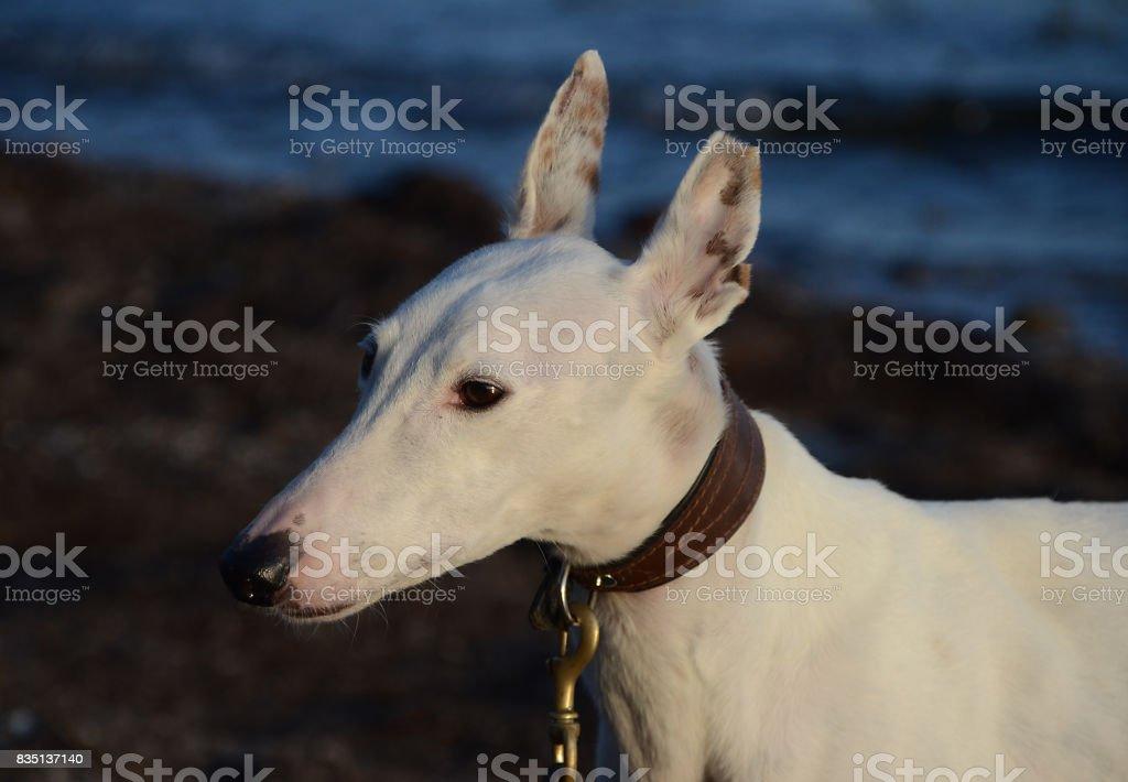 Podenco Dog stock photo