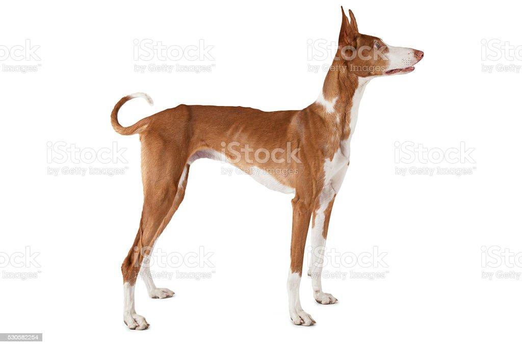 Podenco ibicenco dog stock photo