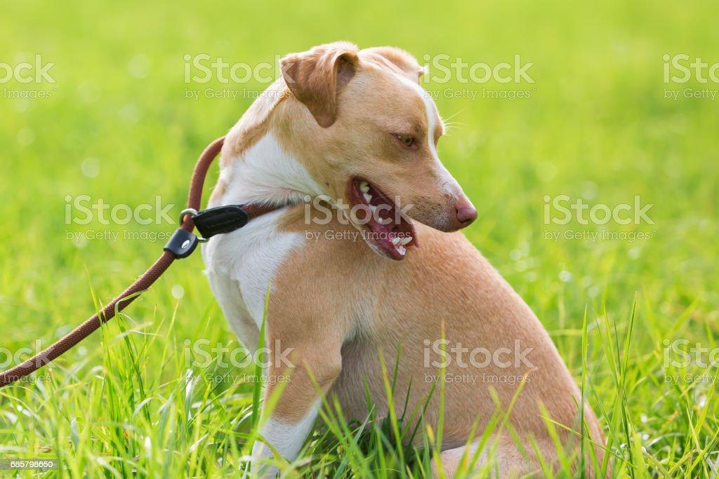 Podenco mix at the leash stock photo