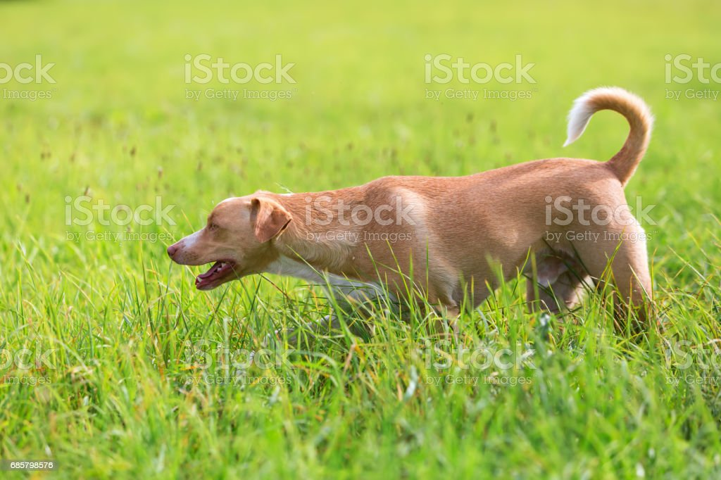 Podenco mix dog walking on the meadow stock photo