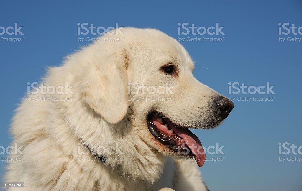 podhal shepherd stock photo