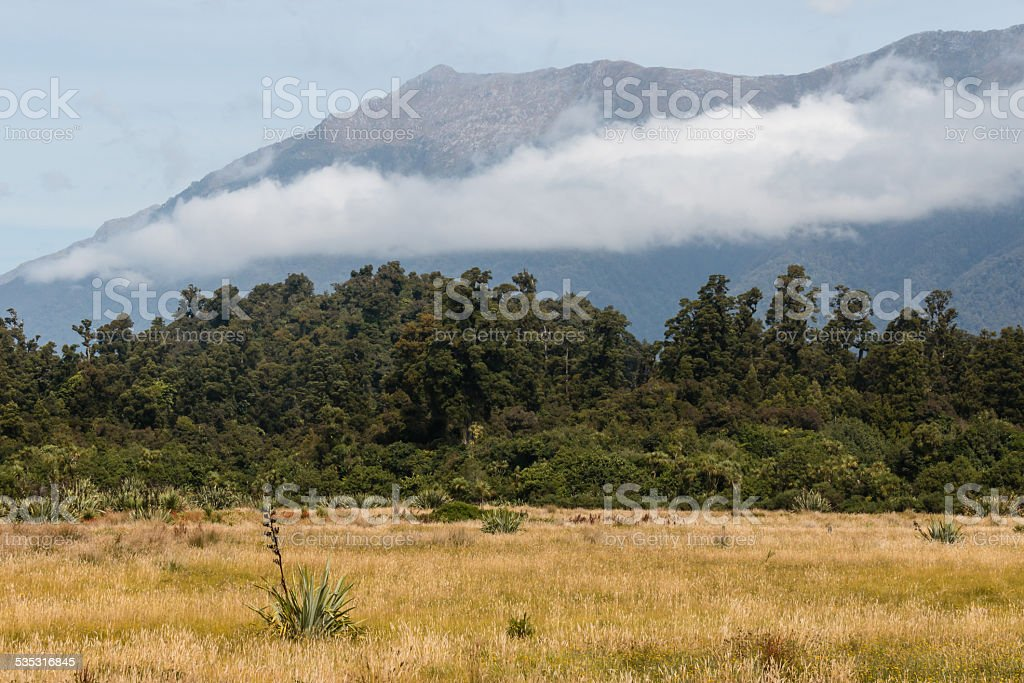 podocarp forest in New Zealand stock photo