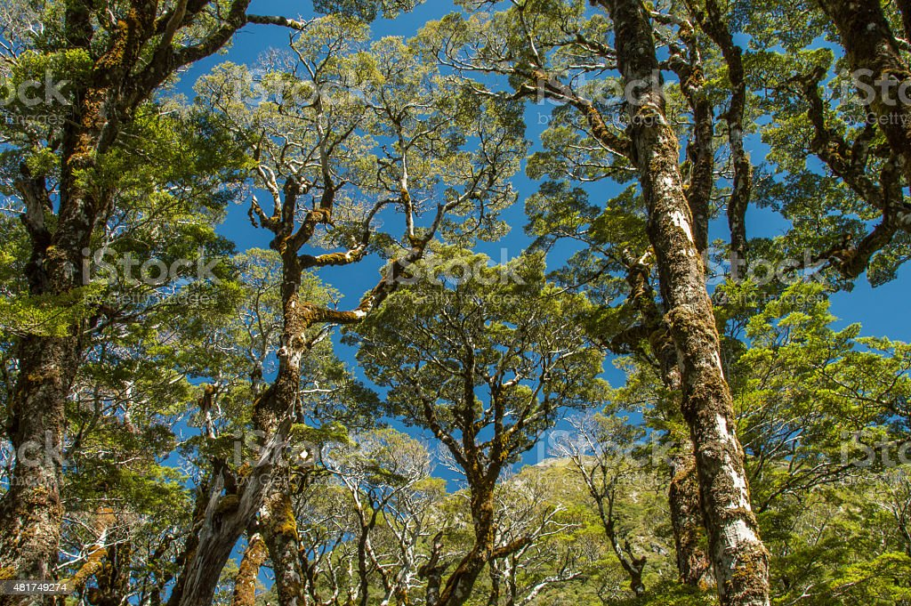 Podocarp forest, New Zealand stock photo