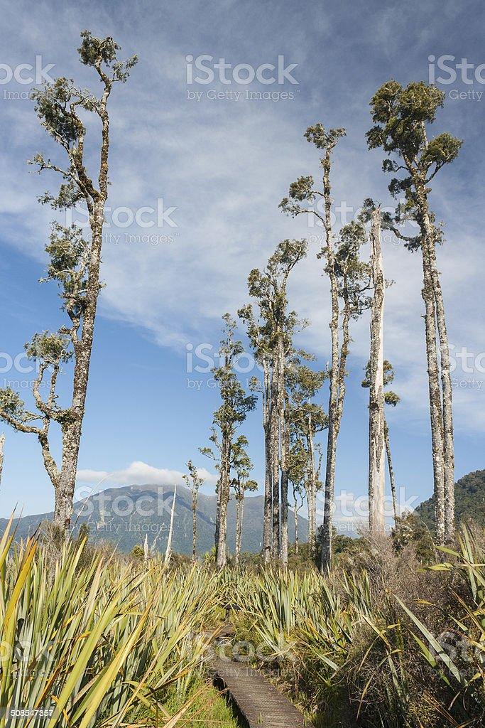 Podocarp trees in Arthur's Pass National Park stock photo