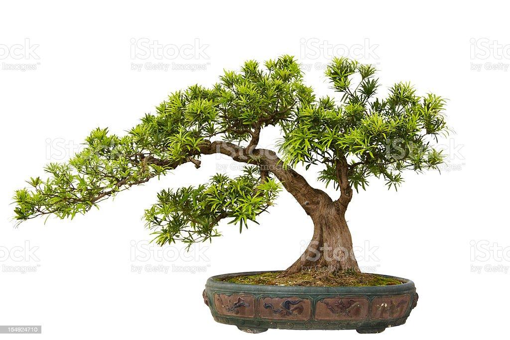 Podocarpus macrophyllus (Kusamaki or Inumaki) Bonsai stock photo