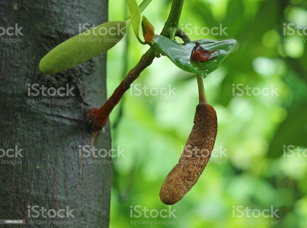 Pods of jackfruit tree stock photo