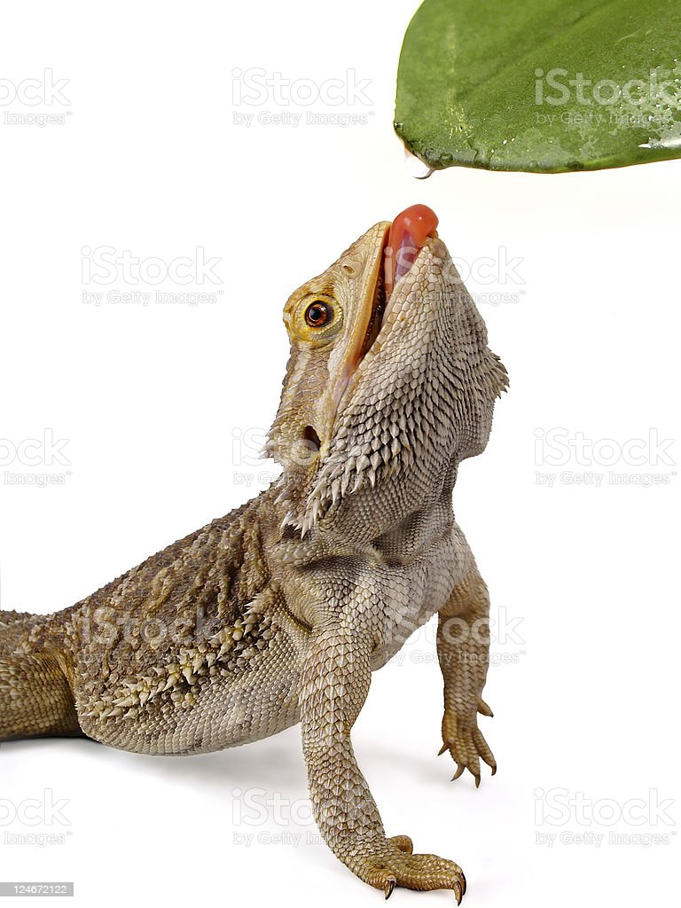 Pogona Bearded Dragon Reptile Licking Water from a Leaf stock photo