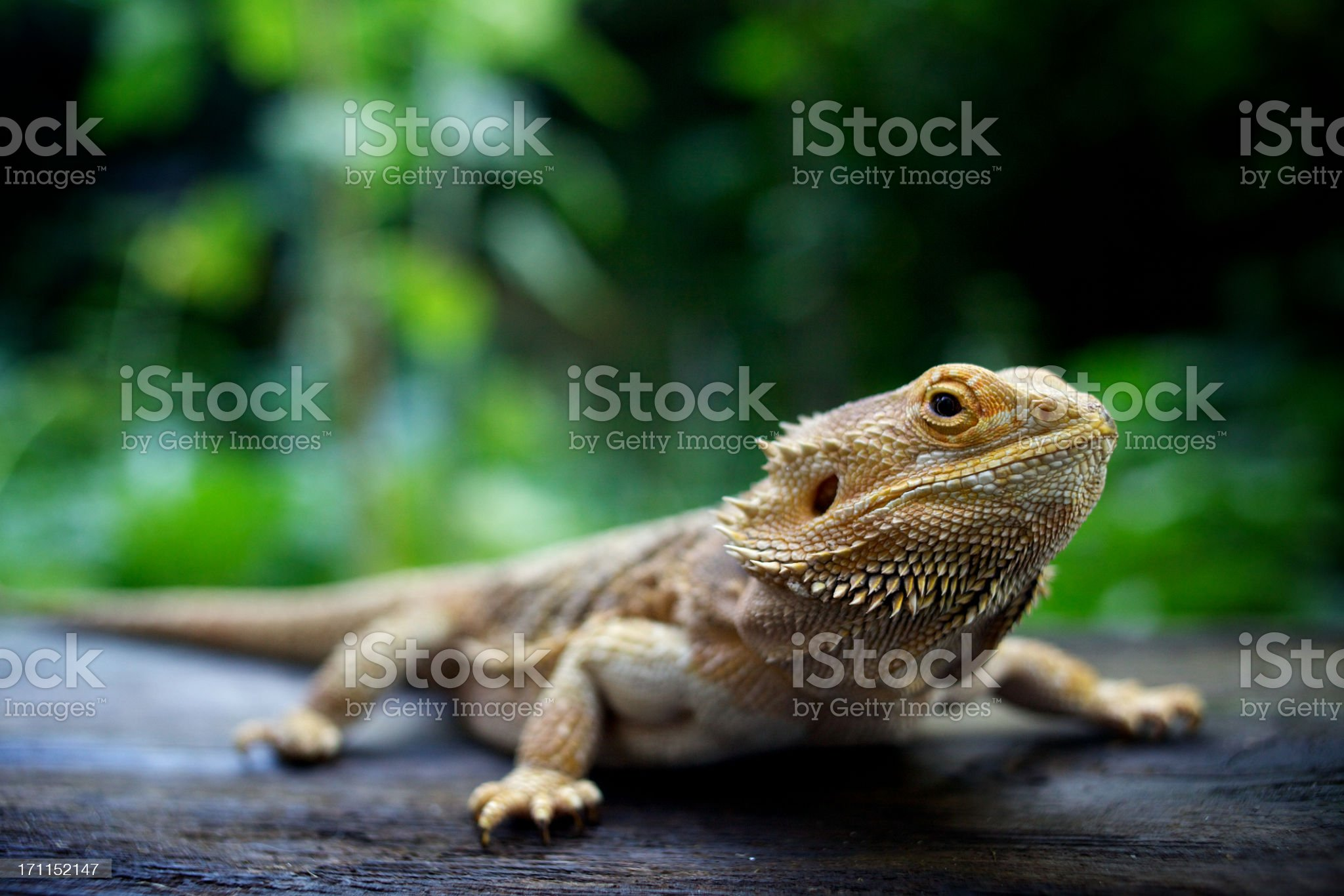 A pogona lizard sitting on a wooden surface in a forest royalty-free stock photo