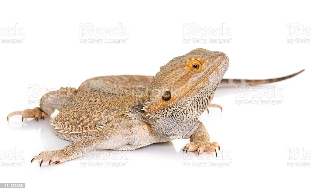 Pogona vitticeps in studio stock photo