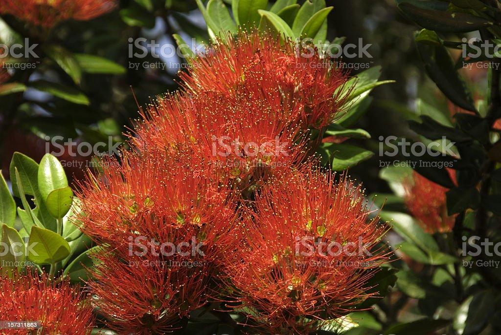 Pohutukawa Flower royalty-free stock photo