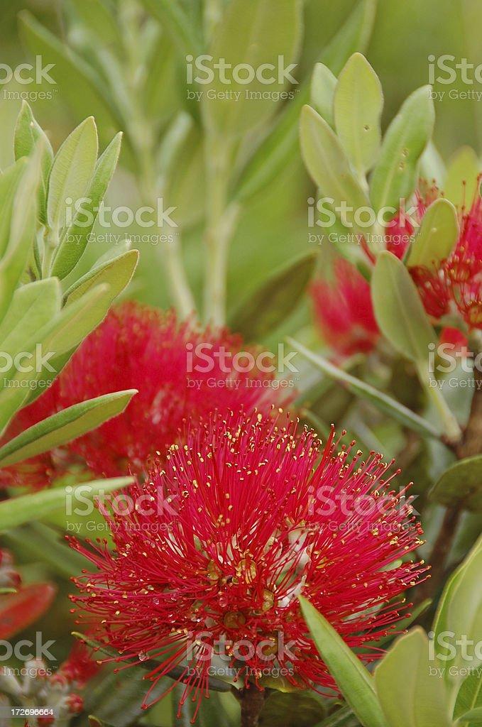 Pohutukawa Flower stock photo