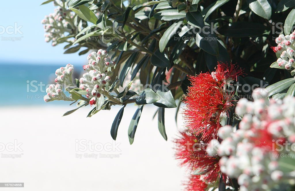 Pohutukawa flowers overlooking a beach royalty-free stock photo