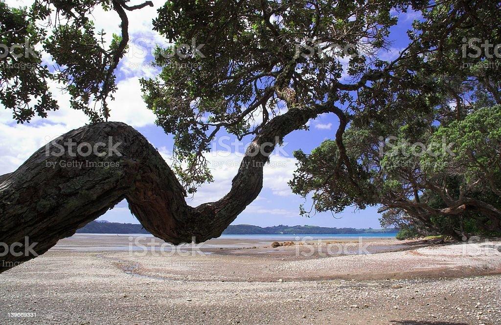 Pohutukawa - New Zealand Christmas Tree royalty-free stock photo