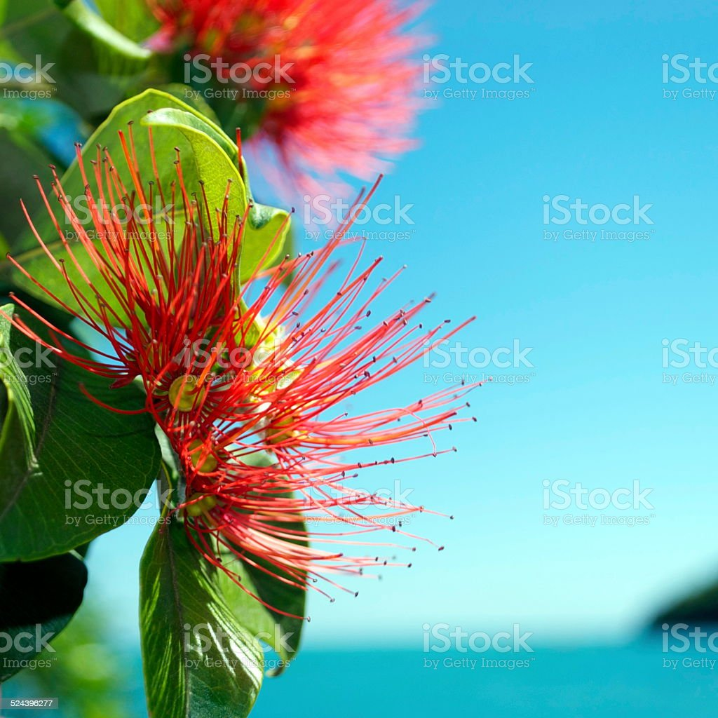 Pohutukawa (Metrosideros excelsa) stock photo
