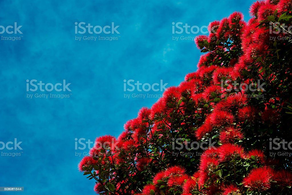 Pohutukawa Tree Flowering stock photo