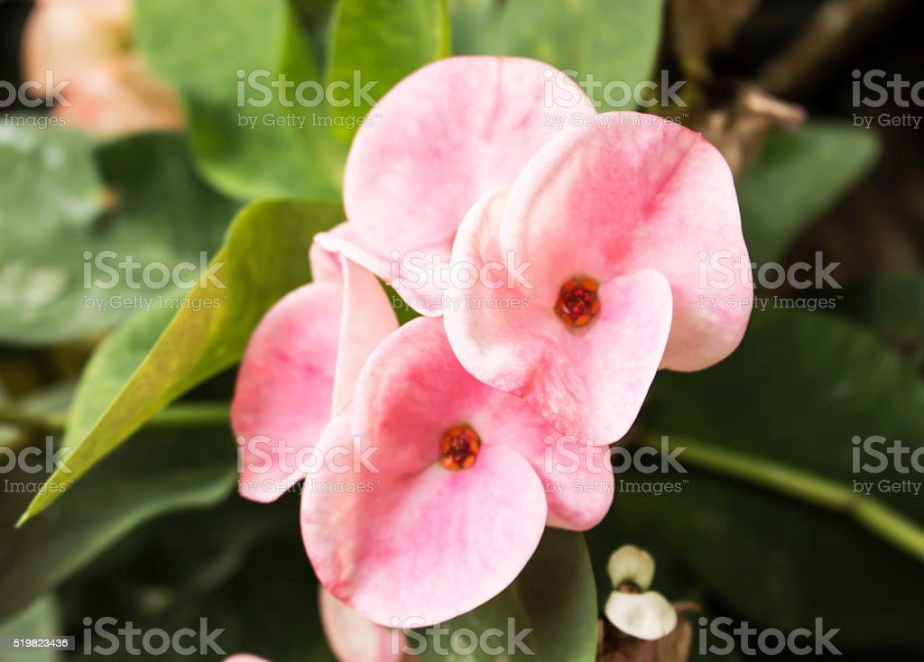Poi Sian flowers. stock photo