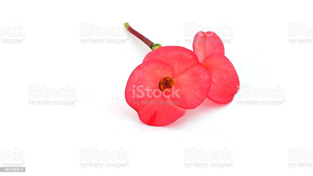 Poi Sian flowers stock photo