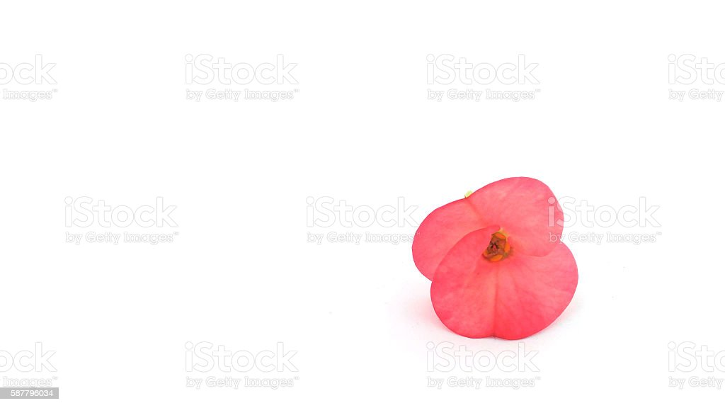 Poi Sian flowers,Asian flower stock photo