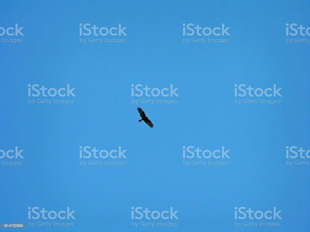 Poiana in volo stock photo