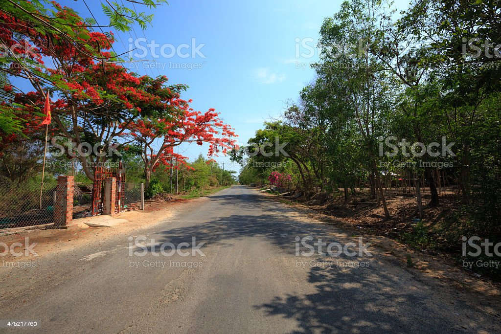 Poinciana, Flame Tree, that is the way of the countryside. stock photo