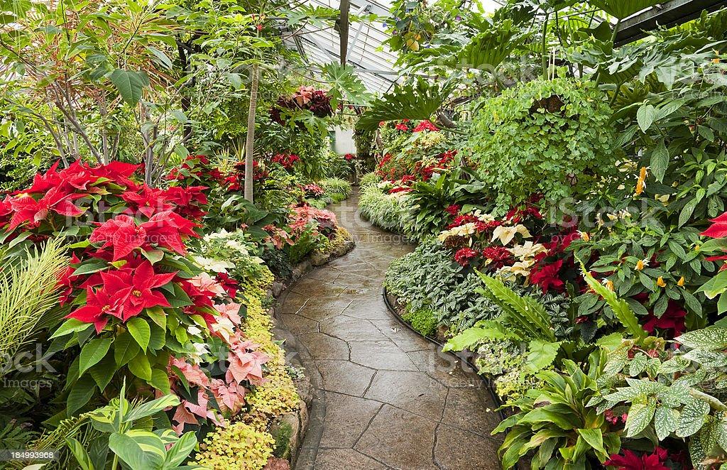 Poinsettia Along The Path royalty-free stock photo