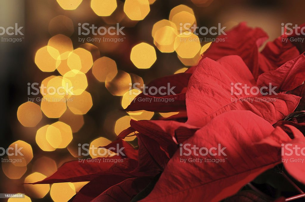 Poinsettia and christmas lights background royalty-free stock photo