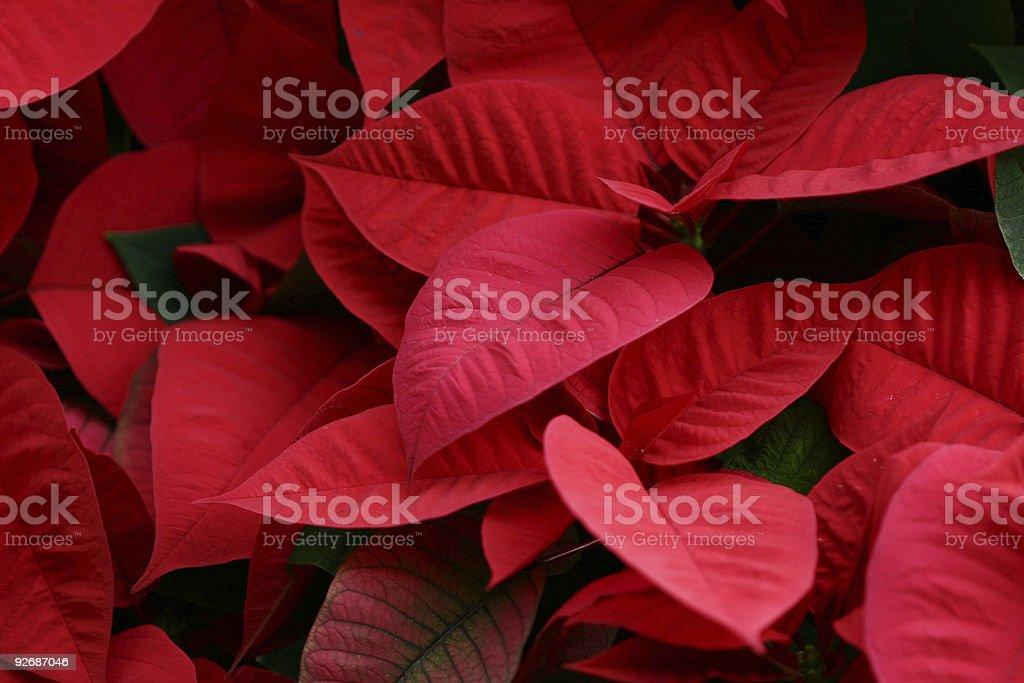 Poinsettia background stock photo