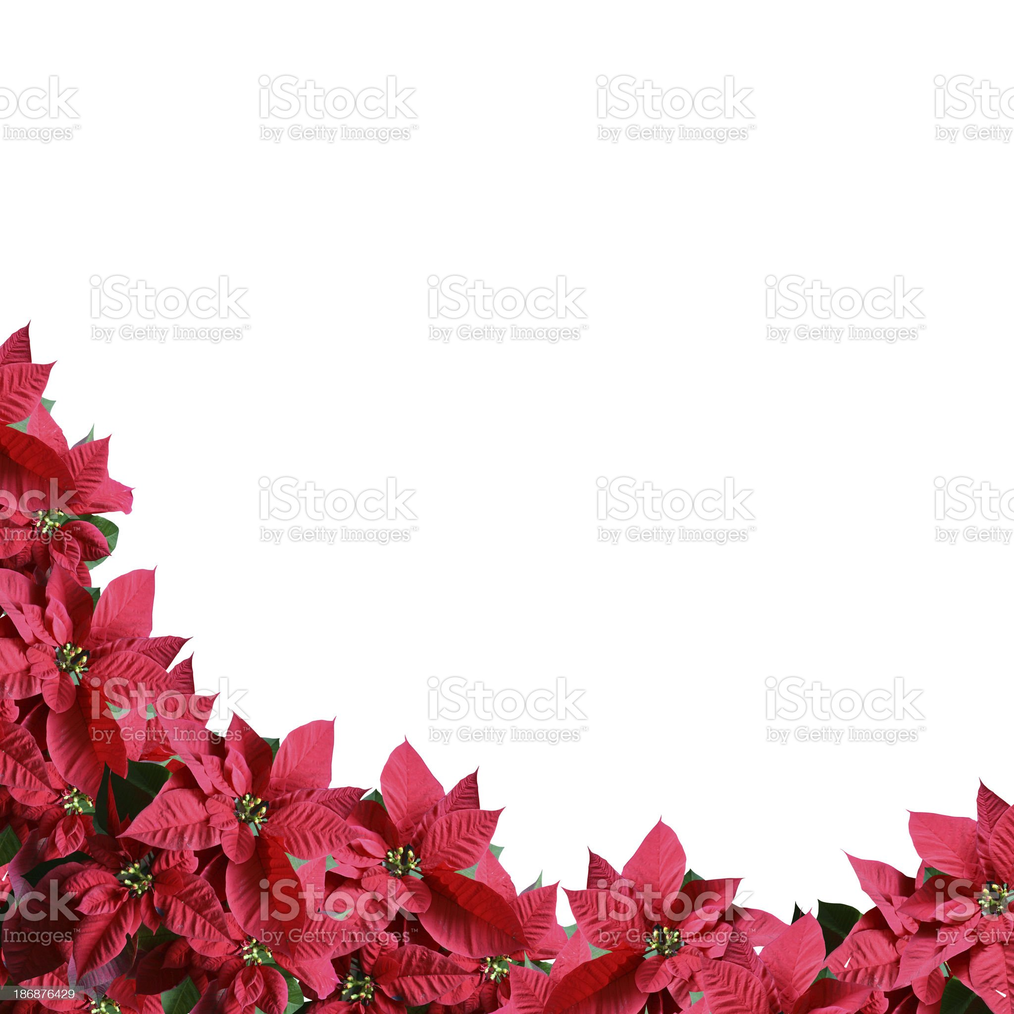 Poinsettia border royalty-free stock photo