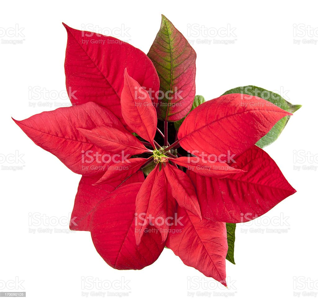 Poinsettia Christmas Flower Isolated on White royalty-free stock photo