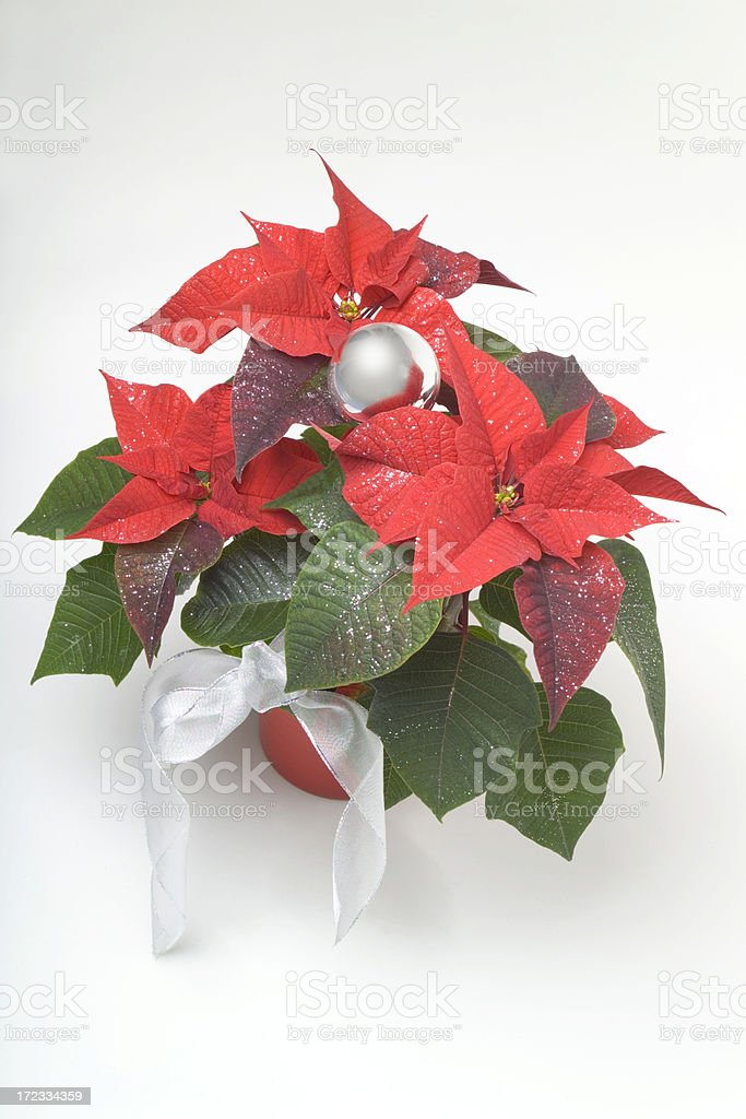 poinsettia, Christmas flower stock photo