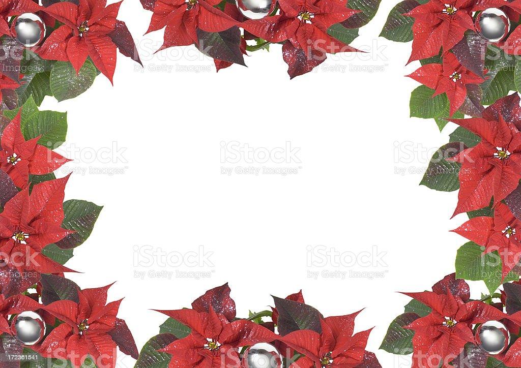 poinsettia Christmas flower (image size XXL) royalty-free stock photo