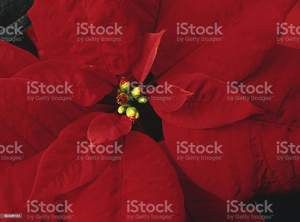 Poinsettia christmas plant royalty-free stock photo